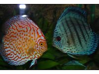 Discus Fish for sale £16
