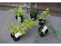 bulk pack of 5 mixed large shrubs plants special offer