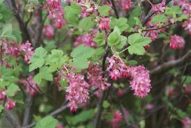 Flowering Currant shrub ornamental plant in 2litre pot cottage garden favourite