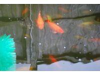 Ten 5 - 9 inch goldfish for pond