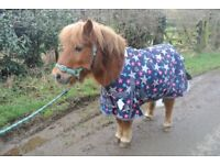 Shetland Pony For Sale!
