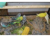 Budgies for sale 8 weeks old