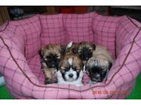 Amazing Lhasa Apso Cross Shih Tzu Puppies - Last Creamy&Grey puppy boy.