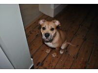 Beautiful Staffy/Bully Cross girl looking for her forever home.