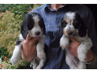 Puppies for sale - Cocker Spaniels