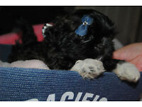 FULL IMPERIAL SHIH TZU PUPS 1 GIRL AND 1 BOY LEFT