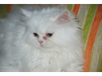 Beautiful Purebred Longhaired Persian Kitten White Male