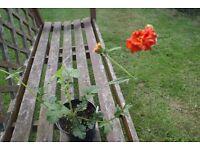 geum mrs bradshaw cottage garden plant