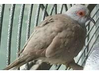 Red male diamond dove