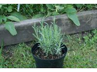 Lavender plant in 2 litre pot cottage garden plant blue flower