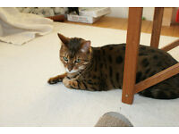 Male Bengal Cat: 7 years old, Neutered, Microchipped, Vaccinated, Papers - Handsome and Loving Boy!