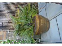 Mexican Fan Palm Tree - (Washingtonia Robusta)
