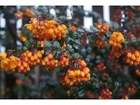 Berberis Darwini orange flowers shrub evergreen