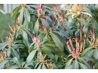 pieris forest flame plant in small pot 9cm