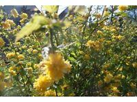 kerria japonica flowering shrub plant