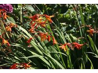 crocosmia bulbs growing in 1 litre pot in flower