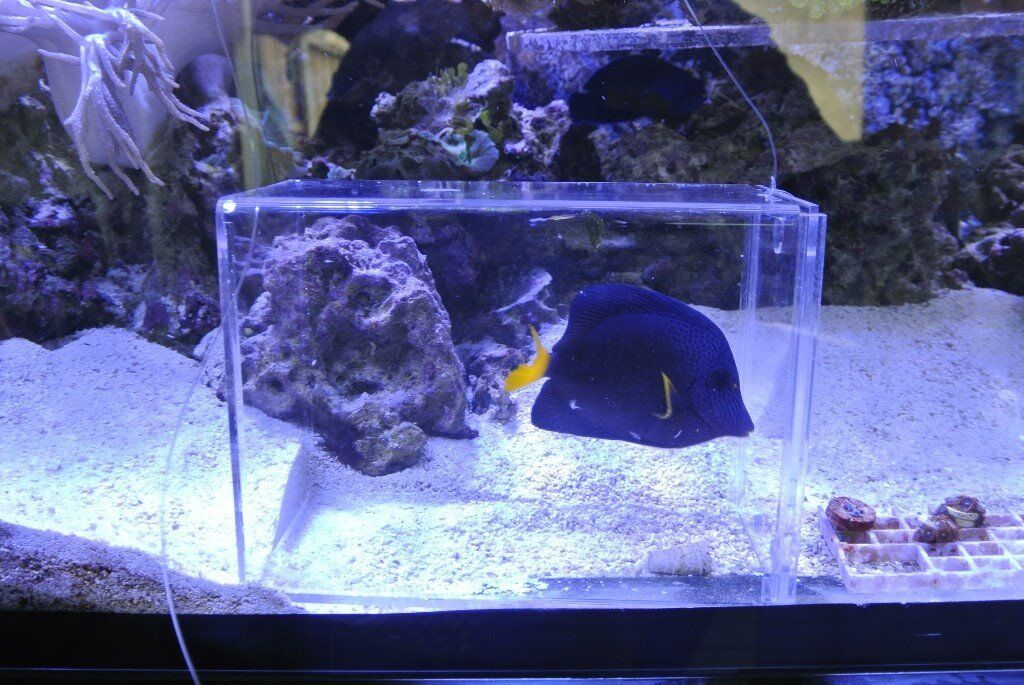 Marine Purple Tang 5/6 inches fat as a Pig. Eats anything £90 Coral Beauty 3/4 inches £25