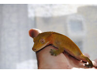 Crested gecko with or without vivarium