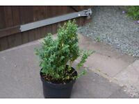 Box Hedging plants in 7.5 litre pots