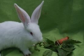 Beautiful continental giant Rabbit