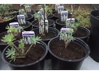pink lupin plants in 1.5 litre pots cottage garden plant