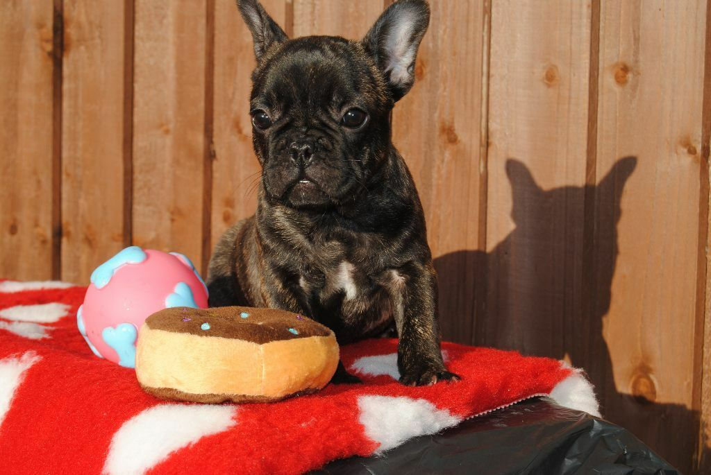 FRENCH BULLDOG PUPPIES | in Sutton Coldfield, West Midlands | Gumtree