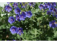 geranium magnificum blue flowered perennial cottage garden plant