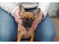 french bulldog puppies 4 weeks old kc deposits now being taken