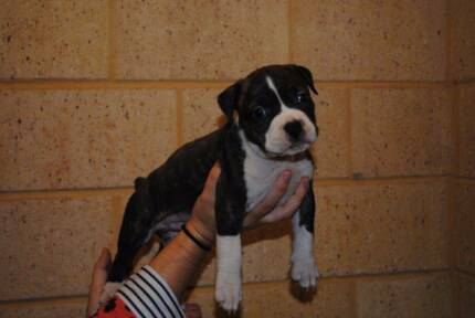 American Staffy pups Malaga Swan Area Preview