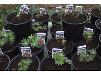 gallery red lupin plant ready to plant out now