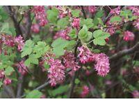 Ribes flowering currant shrub plant pink flower