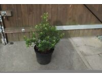 Hebe white gem flowering shrub evergreen in 5 litre pot