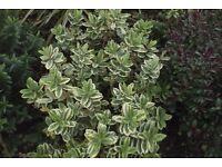 hebe franciscana varigated leaf purple flower evergreen
