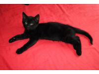 Cute & loving female kitten looking for a loving home
