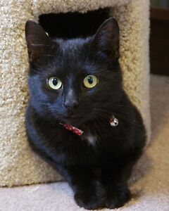 Beautiful young cat for adoption (free) Kitchener / Waterloo Kitchener Area image 1
