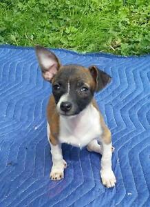 "Baby Female Dog - Rat Terrier-Chihuahua: ""Sasha"""