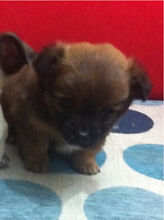 Mini fluffy chihuahua puppy Beverly Hills Hurstville Area Preview