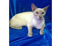 Siamese old fashioned oriental lilac point cat older kitten beautiful blue eyes year old female