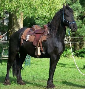 Two Friesian Mares for Sale, new price