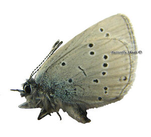 Unmounted Butterfly/Lycaenidae - Cupido buddhista, male, Kazakhstan - Wieliczka, Polska - Damaged specimen in transport or non-conformity of the product with a description of the auction - Wieliczka, Polska