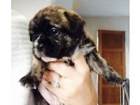 French bulldog x shitzu puppies for sale