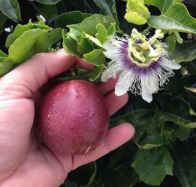 Passiflora Edulis - Red Rover - Plant - Purple Passion Fruit Plant - - Cherry Passion Fruit Fruit