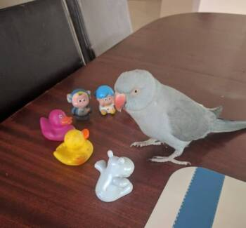 LOST: Grey Indian Ringneck Parrot