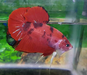 GIANT BETTA FISH! **CYBER MONDAY SALE!**
