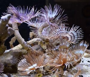 Feather Duster Worm for salt water aquarium
