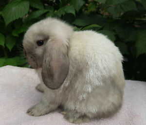 Purebred Holland lop bunny, doe
