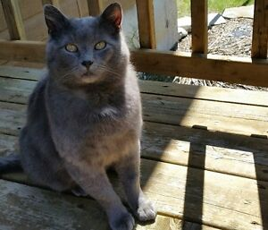 Neutered Male Cat for Adoption