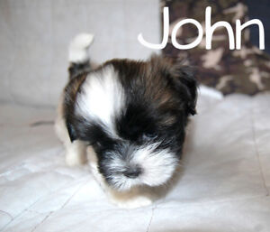 Pretty Little Shih Tzu puppies 2 Brindle & White Males Left