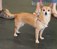 **Gorgeous Sugar Pie - CHIHUAHUA cross is available for adoption