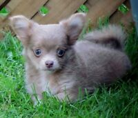 Chihuahua Male Pup(Gorgeous Lavender)